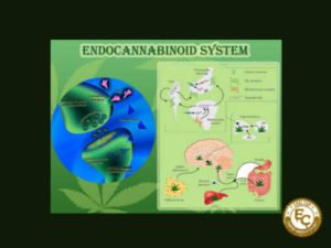 The Endocannabinoid system inside you. Did you know there was one inside you?
